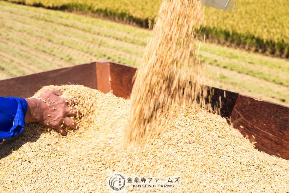 2017年 稲刈り 初日 コシヒカリ 富山米 金泉寺ファームズ 通販 玄米 精米 お米 米 コメ 5
