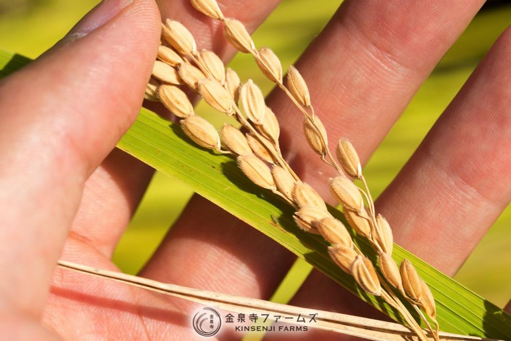 カルゲンとシンキョーライトまいた田んぼの稲刈り 6