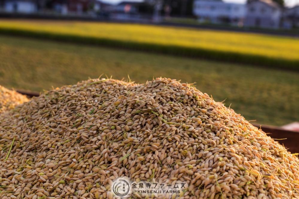 2017年 稲刈り 初日 コシヒカリ 富山米 金泉寺ファームズ 通販 玄米 精米 お米 米 コメ 15