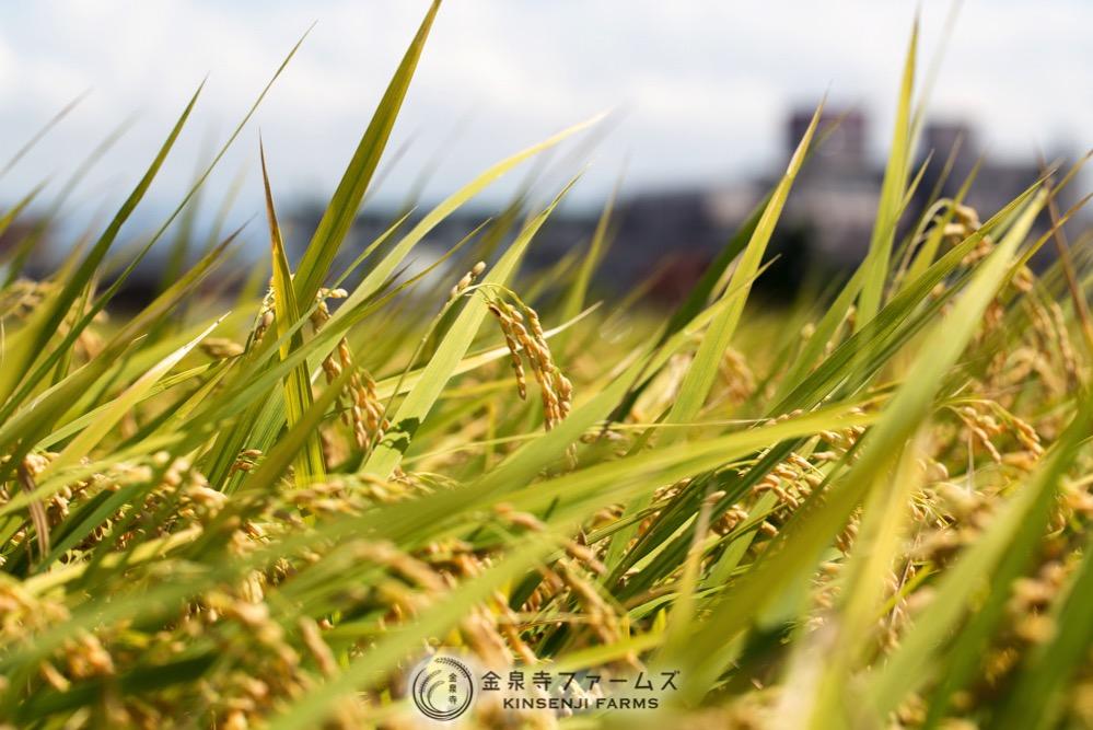 2017年 稲刈り 初日 コシヒカリ 富山米 金泉寺ファームズ 通販 玄米 精米 お米 米 コメ 2