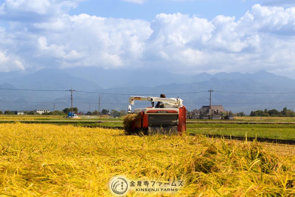 カルゲンとシンキョーライトまいた田んぼの稲刈り 4