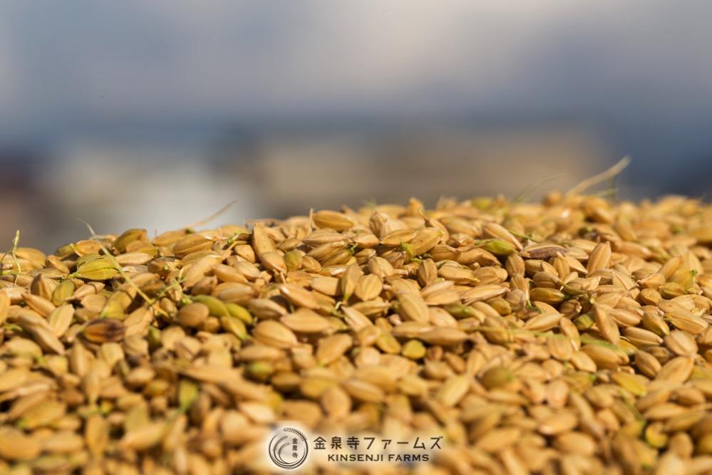 2017年 稲刈り 初日 コシヒカリ 富山米 金泉寺ファームズ 通販 玄米 精米 お米 米 コメ 10