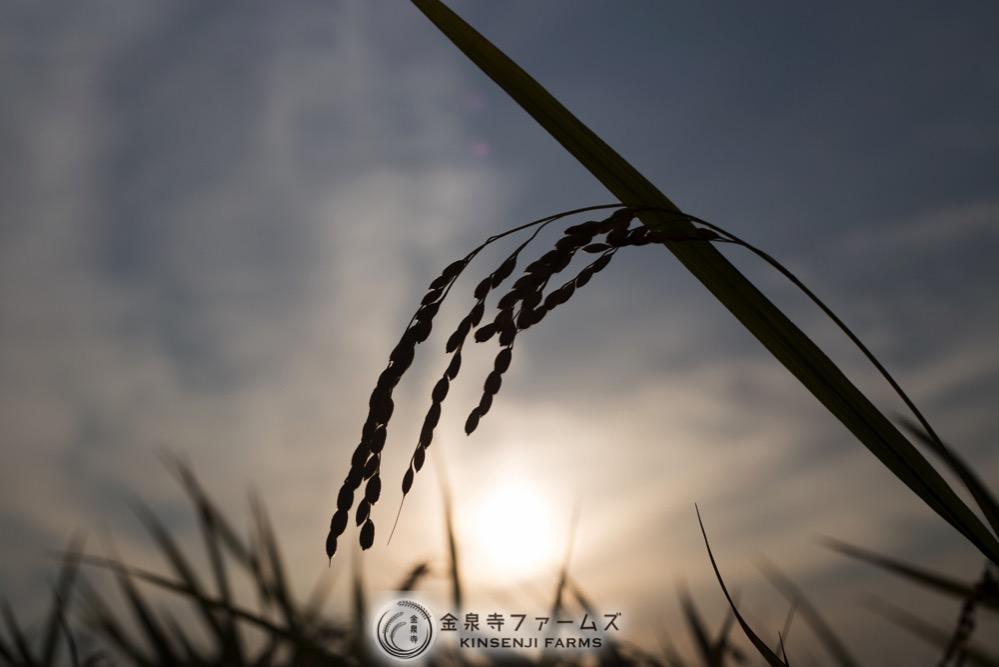 2017年 稲刈り 初日 コシヒカリ 富山米 金泉寺ファームズ 通販 玄米 精米 お米 米 コメ 14