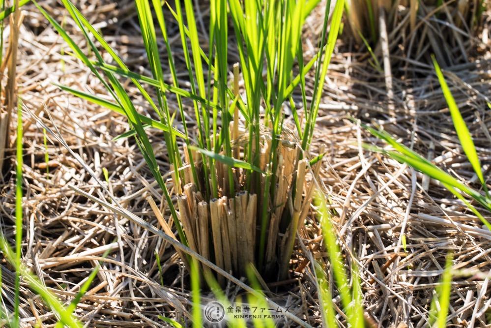 秋の肥料散布7